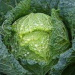 春キャベツの時期はいつ?栄養や効能の特徴と違いの見分け方!